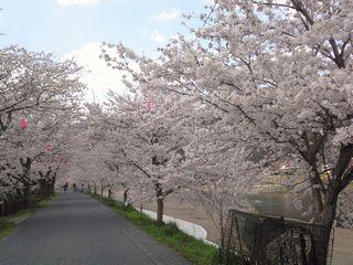 近所の桜堤